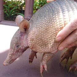 Petting Zoo - Armadillos